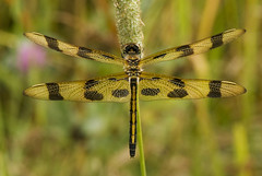 Halloween Pennant Dragonfly (WPC_Greenspace_Gavin) Tags: summer grass closeup female insect wings midwest dragonfly michigan meadow veins foxtail odonata oldfield halloweenpennant celithemiseponina