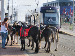 Blackpool Donkeys Tram (tvordj) Tags: uk animals publictransportation transportation blackpool