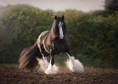 Gypsy Cob (Katarzyna Okrzesik) Tags: horse black cob gypsy stallion
