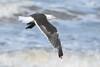 Great black backed gull (Shane Jones) Tags: sea bird nikon gull seabird greatblackbackedgull birdinflight 200400vr d7000