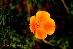 Californian Poppy (Freespirit 1950) Tags: californianpoppy