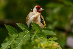 Goldfinch (warren hanratty) Tags: bird nature wildlife goldfinch nailsworth cardueliscarduelis wildbird warrenhanrattyphotography