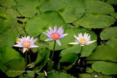 IMG_4197 (singaporeplantslover) Tags: nymphaea   lotus