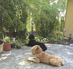 A yard for Cooper & Ruby (ArizonaSandy) Tags: dogs yard washington patio cooper ruby photostream wooded