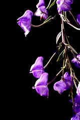 265 (Lee Saboro) Tags: flowers light flower purple bloom blooms frontyard monkshood