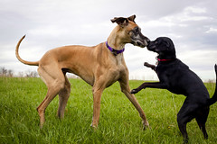 Black dog and greatDanenosetonose (dmussmanphotography) Tags: friends dog pet pets cute dogs animals fun outdoors movement funny humorous play frolic friendship sweet meeting greatdane surprise silliness relationships playful comical whimsical enthusiasm cavort nosetonose interactions absurdity greatdanes sillydogs comedic funnydogs