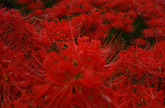 RED (Junpei) Tags: red sigma spiderlily   clusteramaryllis   dp1merrill