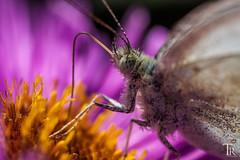 Macro | Butterfly at work (Tom Radziwill - Fotografie) Tags: flower macro butterfly insect wildlife insekt schmetterling fluginsekt makrofotografie