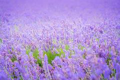 Lavender (Gift of Light) Tags: summer flower field japan zeiss t photography hokkaido blossom farm sony lavender 55mm bloom fe alpha f18 za tomitafarm blooming sonnar carlzeiss 5518 sonyalpha sonysonnartfe55mmf18za sonya7s