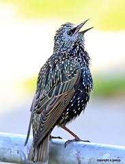 _MG_1085 Starlings (M0JRA) Tags: food birds gardens feeding starlings