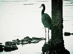 Outside the hospital door (sigurshoot) Tags: sea india heron river mare kerala malabar airone thalasserry