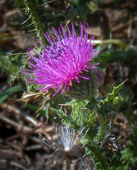 Thistle (mahar15) Tags: plant flower nature up closeup outdoors close bloom thiistle
