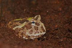 20140215-PICT9061 klein.jpg (henk.wallays) Tags: 1999 aaaa amphibia anura chordata date henkwallays amfibie amfibien amphibie amphibien anfíbios closeup gewervelden lurche macro nature natuur vertebrata vertebrate wildlife земноводні ceratophrysspecies