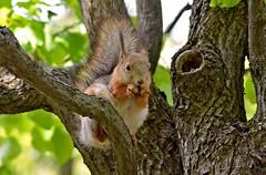 Lunch... (L.Lahtinen (nature photography)) Tags: squirrel squirrelonthetree orava kurre wildlife redsquirrel nature nikon d3200 nikond3200 europe