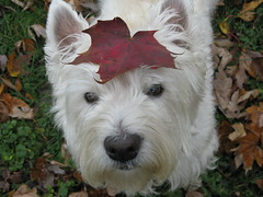"11/12B ~ Riley - ""Imitation Photo"" (ellenc995) Tags: riley westie westhighlandwhiteterrier 12monthsfordogs15 theme leaf imitation coth thesunshinegroup supershot coth5 alittlebeauty fantasticnature abigfave sunrays5 challengeclub pet100 100commentgroup ruby3 pet500 pet1000 ruby20 pet2000 pet1500"