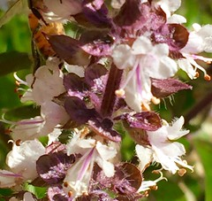 African Blue Basil Flower Stalk In Winter <<>> Very Delicious, Fresh Or Cooked (chicbee04) Tags: winter arizona white green cooking colors gold colorful tucson spice delicious flowerpot spicy brightsunshine kitchendoor africanbluebasil chillyday southwesternusa arizonausa tinywhiteflowers purpleflowerstalk