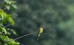 Chestnut-headed Bee-eater (Bhrigzz) Tags: beeeater jimcorbett birdsofindia birdscape lonelybird chestnutheadedbeeeater meropsleschenaulti bijrani jhirna