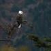 Linda águia-americana