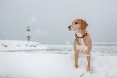 No snow (TheGiantVermin) Tags: dog snow ryder portelgin