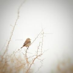 #عصفور #طير #طيور #colorful #nature #petsandanimals #landscape #birds #burd #animal #photography #cute #love  #ksa  #cam #camera  #sonyalpha #soby #alpha #a57 #تصويري #كاميرا #سوني #مساء_الخير #goodeverning (photography AbdullahAlSaeed) Tags: camera cute love nature birds animal landscape photography colorful cam alpha ksa burd a57 petsandanimals تصويري طير عصفور طيور sonyalpha soby كاميرا سوني مساءالخير goodeverning