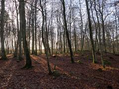EE130016 - Among the Fagus sylvatica (European Beech) (Mytacism) Tags: wood trees winter nature forest landscape sweden olympus beech vxj omd em1 1240