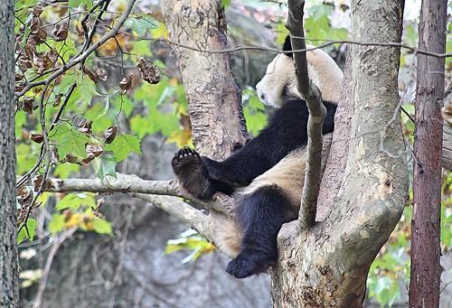 Chillin' Panda