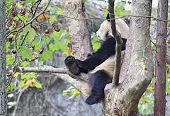 Chillin' Panda (Robert Borden) Tags: asia china sichuan province chengdu researchcenter panda bear tree chillin portrait canon travel