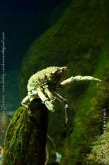 grote spinkrab - Maja brachydactyla - European spider crab (MrTDiddy) Tags: grote spinkrab maja brachydactyla european spider crab spin krab crustacean schaaldier zooantwerpen zoo antwerpen antwerp