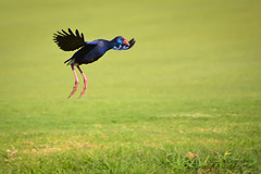 A Purple Swamphen Landing [Explored 15/10/2016] (Mark & Cy Photos) Tags: action activity angle animal animalia background beast bird blurred bottom composition coots crafts crakes detail environmental exterior feather flying focus format framing front genre grass gruiformes horizontal landing landscape life light lighting natural orientation outdoor photo photography plant porphyrio purple rails setting style swamphen travel vegetation view wild wildlife worldartscraftsphotographysettingexterioroutdoorphotogenrestyletypewildlifetravelorientationlandscapelightingnaturallightframingcompositionenvironmentaldetailformathorizontalfocusbackgroundblurredangleviewfrontbottomactiona