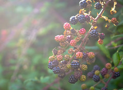 Blackberries (Chris A M) Tags: blackberries fruit autumn berries nature