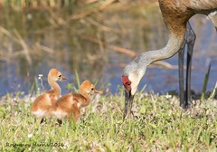 Sandhill Crane Family (rosemaryharrisnaturephotography) Tags: sandhillcranes cranes sandhill colts sandhillcolts florida outside water wildlife babies rosemaryharris canon nature family daytime light grass sunshine feeding coth ngc coth5