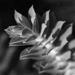 Into The Light (AnyMotion) Tags: leaves bltter plant pflanze light licht bokeh 2016 anymotion nature natur botanicalgarden botanischergarten frankfurt 7d2 canoneos7dmarkii silver silber bw blackandwhite sw autumn fall herbst automne otoo square 1600x1600
