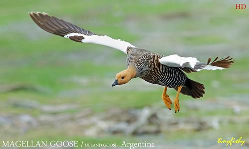Improved : MAGELLAN/UPLAND GOOSE female - [ Beagle Channel, Argentina ]