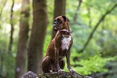 .. (Tams Szarka) Tags: dog pet animal puppy outdoor nature forest boxerdog boxer nikon strawberry