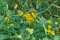 Boerenwormkruid -  Tansy - Tanacetum vulgare (desire van meulder) Tags: plants planten flowers bloemen boerenwormkruid tansy tanacetumvulgare