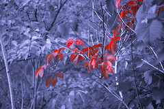 The Nature of Autumn (A Great Capture) Tags: feuillage leaf leaves selective colour selectivecolour selectivecolor blackwhite red branch outdoor outdoors vibrant woods foliage eos digital natur nature naturaleza natura agreatcapture agc wwwagreatcapturecom adjm toronto on ontario canada canadian photographer northamerica ash2276 ashleylduffus ald mobilejay jamesmitchell fall autumn 2016 automne