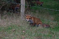 Red Fox-Vulpes vulpes. (PANDOOZY PHOTOS) Tags: redfox fox wild vulpesvulpes mammal mammals animal animals uk gb wildlife nature dog autumn british countryside barbedwire fence