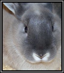 Furry Face (Margaret Edge the bee girl) Tags: rabbit smokepearl fur grey coat nose eyes face ears whiskers animal lapin soft indoors domesticated