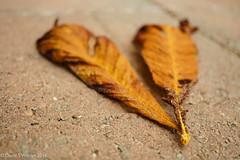 Fallen (David S Wilson) Tags: sonya5100 england sonysel30mmf35macrolens flowersplants adobelightroom6 ely 2016 davidswilson uk fens