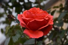 Rosas de noviembre (esta_ahi) Tags: lleida lametlladesegarra lasegarra segarra lrida spain espaa  rosas rosa rosaceae flor flora flores cultivadas