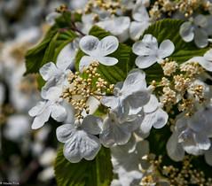 161026 112341 (friiskiwi) Tags: spring flowers nelson newzealand nz