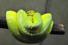 DSC_0563 (Thomas Cogley) Tags: toronto zoo thomas cogley thomascogley snake reptile green water drop curled curl
