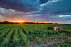 Sunset over Canola in Bathurst NSW Australia (Richard Sollorz Photography) Tags: richard sollorz tractor field country australia newsouthwales nsw farmland outdoors countryliving bathurst sunset hdr