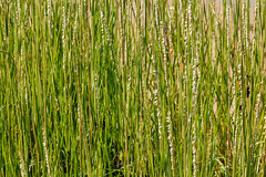 Spartina alterniflora (smooth cordgrass) (tgpotterfield) Tags: marthasvineyard massachusetts edgartown ammophilabreviligulata ammophila poaceae americanbeachgrass spartinaalterniflora spartina smoothcordgrass usa