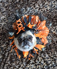 Bailey Buggins The Witch (DaPuglet) Tags: pug costume witch halloween pugs dog dogs pet pets animal animals moodyspooky