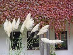 Herbst - autumn (Jorbasa) Tags: jorbasa hessen wetterau germany herbst autumn bltter efeu rot red leave