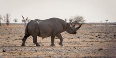 nam1_54 (L'esc Photography) Tags: etosha etoshanationalpark gemsbokvlakte nam namibia oshikoto oshikotoregion southwesternblackrhinoceros blackrhino blackrhinoceros rhino rhinoceros