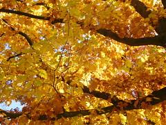 Autumn tree (EvelienNL) Tags: autumn fall herfst tree trees leafs leaves colourful coloured bright sunny sunshine sunlight boom bomen bladeren herfstbladeren herfstkleuren herfstblad zonlicht zonnig geel gele oranje orange yellow branches oak redoak championoak northernoak quercusrubra amerikaanseeik eik sooc