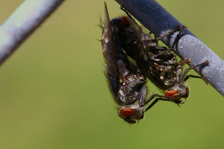 Flies on the Fence