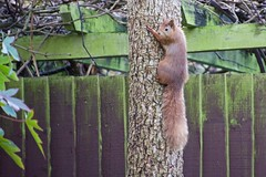 KMH_3657 (Island Snapper) Tags: redsquirrel wight iow shanklin